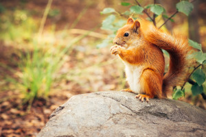 Squirrel red fur with nuts and summer forest on background wild nature animal thematic (Sciurus vulgaris rodent)